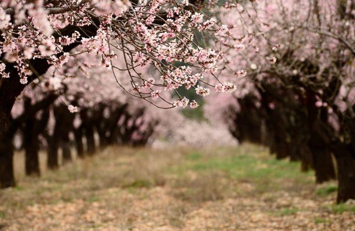 Alcalalí se tiñe de rosa y blanco