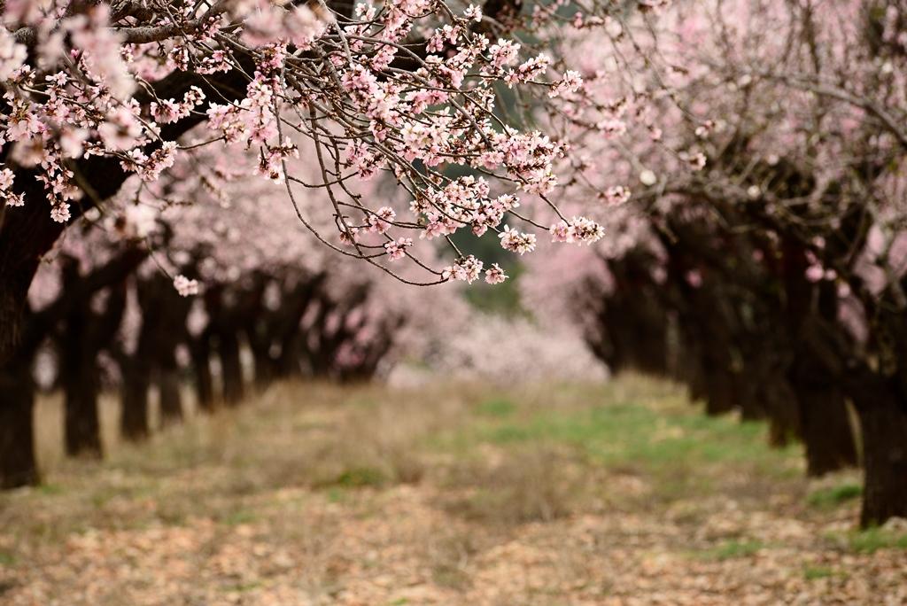 Feslali Alcalali en flor
