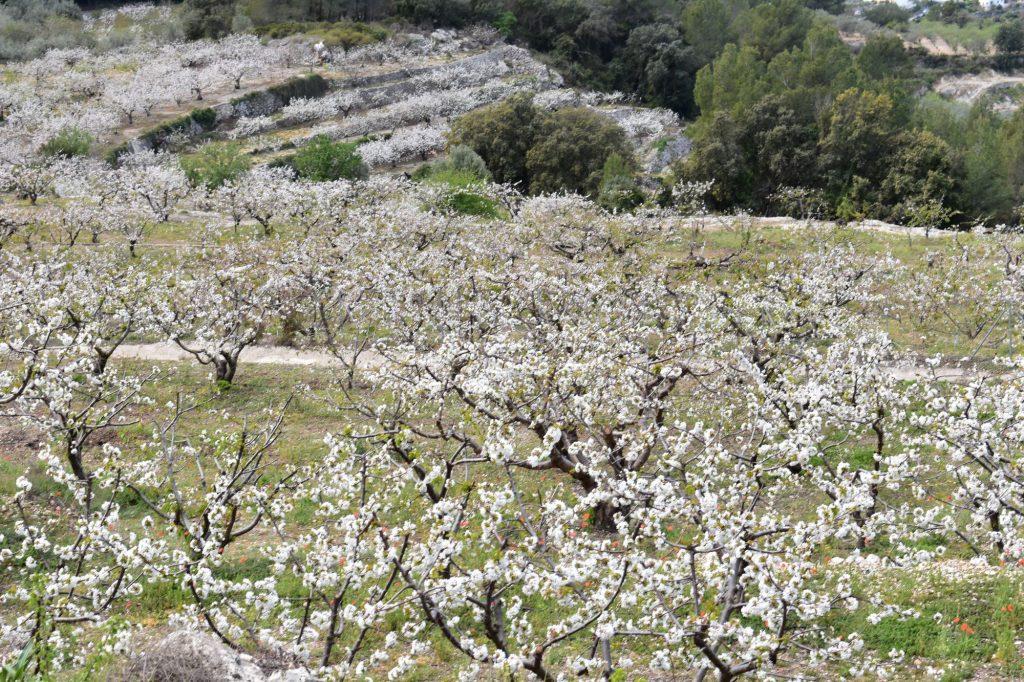 Vall Gallinera cerezas