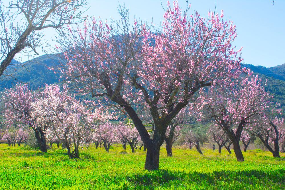 V Feslalí Alcalalí en flor