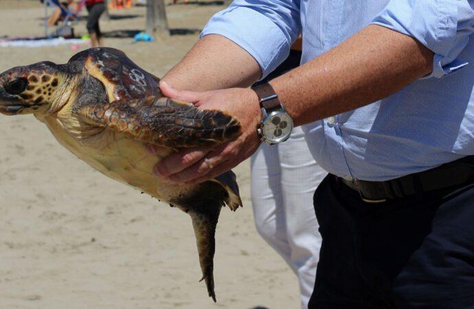 "La tortuga ""Concheta"" vuelve al mar"
