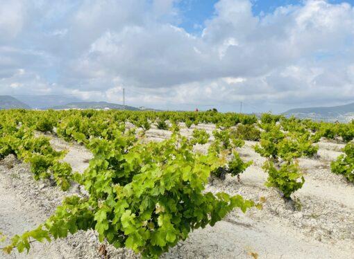 La Bodega de Teulada contribuye a la preservación del cultivo de la vid
